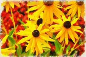 Black eyed susans appearing in late summer